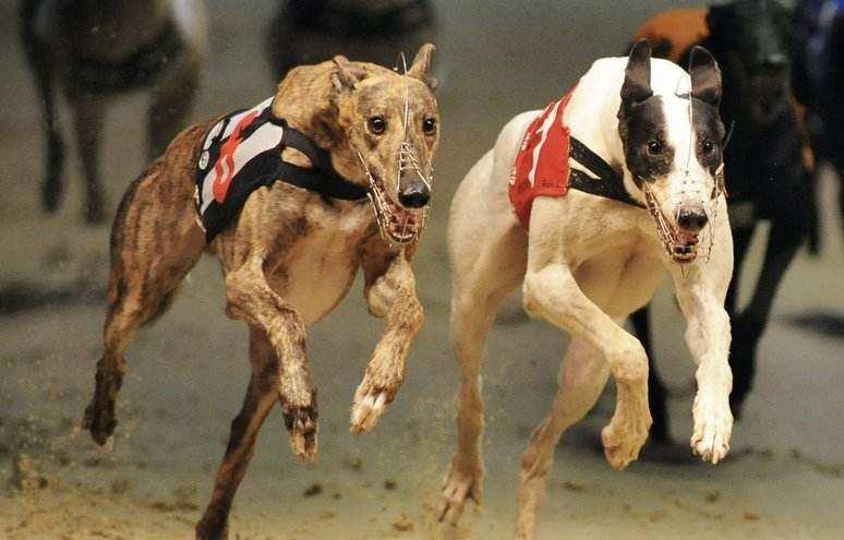 greyhound st leger betting tips